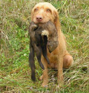 Der Drahthaar Vizsla ist der nächste Verwandte des Kurzhaarigen Ungarischen Vorstehhundes